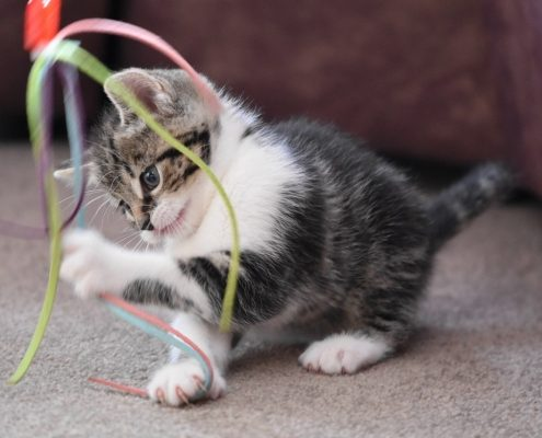 grey and white kitten plays with a cat toy