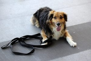 a shaggy haired brown, black, and white dog lays on the ground with a slack leash.