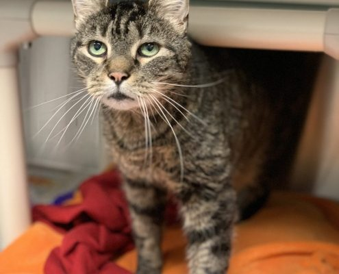image of an older grey tabby cat standing in a kennel