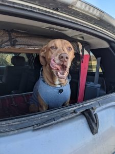A brown dog sitting in the back of an SUV licks his lips