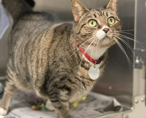 A grey tabby cat with light green eyes stands in a cat kennel