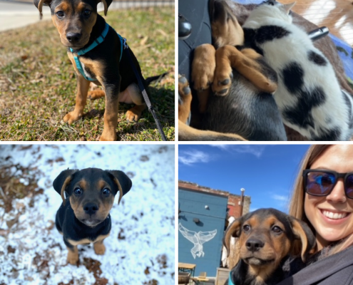 A collage of a black puppy with brown nose outside, one sleeping with a cat, and one cuddled with his owner in her jacket