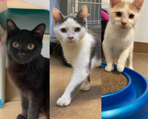 collage of three 6 month old kittens, one black and two white