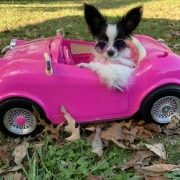 A small black and white dog sits in a play pink car wearing pink sunglasses