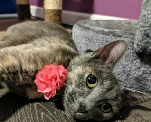 a grey cat with a pink flower on her collar lays on a wood floor