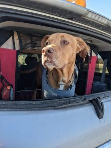 a brown dog looks out of a car window