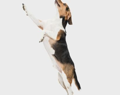 A white, brown, and black dog jumps up on hind legs against a neutral background