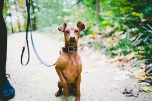 a medium sized short haired brown dog sits with a leash on