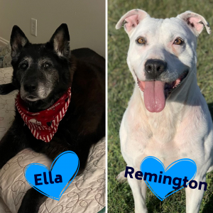 two photos side by sode, one with a black, older looking dog laying on a dog bed wearing a red bandana and the other a white short haired dog sitting outside with his tongue out