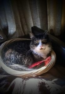 a grey and white cat sits curled in a basket with a red feather toy