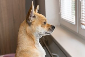 small brown dog looks out a window