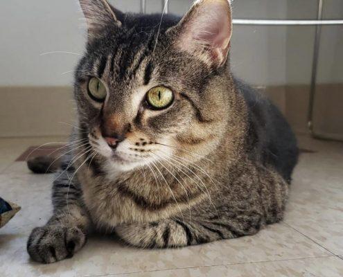 Luna, a grey tabby cat with emerald green eyes