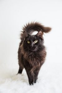 fluffy black cat with green eyes
