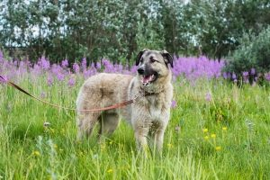 Shaggy light brown dog on a leash in an overgrown grassy field
