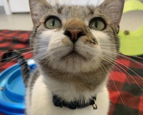 a grey cat with white nose looks up at the camera