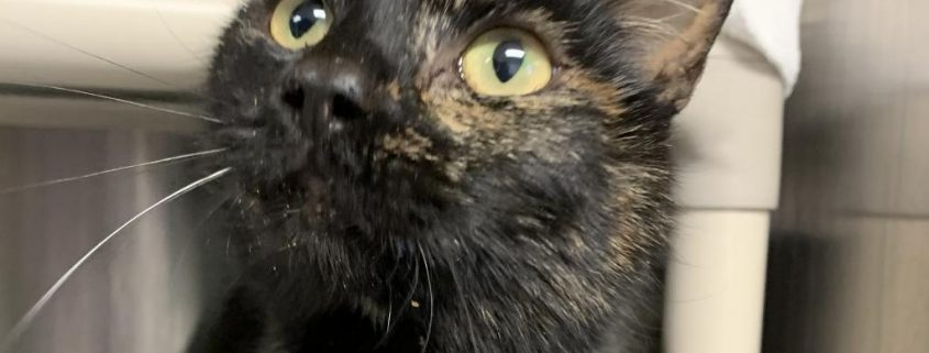 a dark tortoise colored cat with large yellow eyes looks up at a treat held almost out of frame.