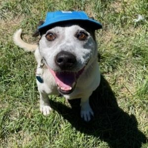 A white-ish grey dog sits on the ground looking up at the camera with a smile while wearing a blue cap