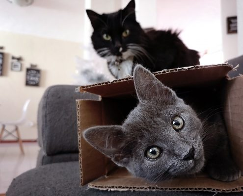 a gray cat lays in a cardboard box with a black cat sitting in the background on top of the box