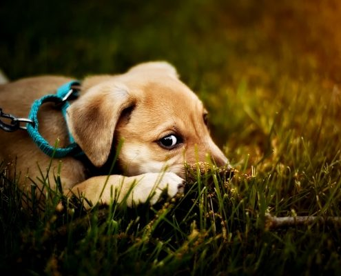 A light brown puppy wearing a collar and leash lays in green grass
