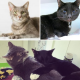 A collage of two adult cats. Close up of a grey cat in the upper left corner, with a black cat with blue eyes in the upper right. At he bottom is a photo of the black cat hugging the grey cat.